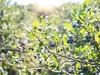 Maine blueberry crop falls with disease, lack of pollination