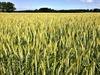 Weizenzucht optimieren – durch Genomvergleich mit natürlichen Vorfahren