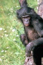 Forscher entschlüsseln das Bonobo-Genom