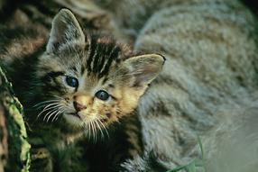Der Wildkatze in die Gene geschaut