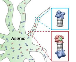 proteasomes of the nerve cell