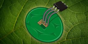 Temperatursensor aus Zellen der Tabakpflanze