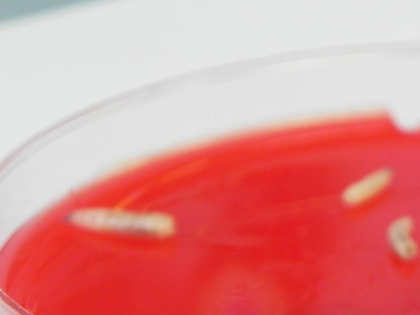 lucilia sericata wundbehandlung