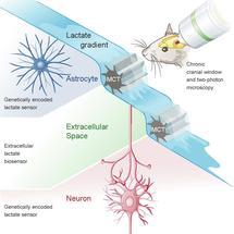 Milchsäure für die Energie im Gehirn