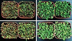 plantas modificadas para sobreexpresar las proteínas RGLG1 y RGLG5