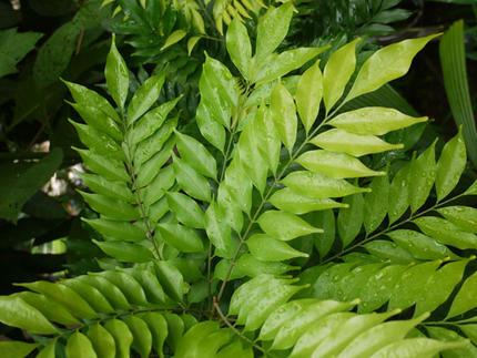 Asiatische Pflanzen asiatische pflanze hilft gegen das ebolavirus