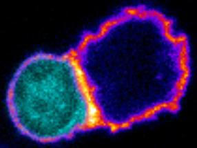 Investigadores del CSIC descubren que un grupo de linfocitos activa una respuesta capaz de destruir tumores