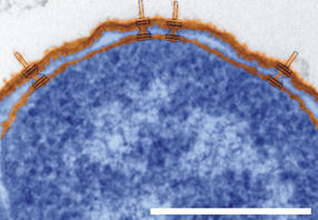 Wie Bakterien Spritzen bauen