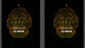 Stereoscopic 3D video of a mouse brain with green labeled leptin